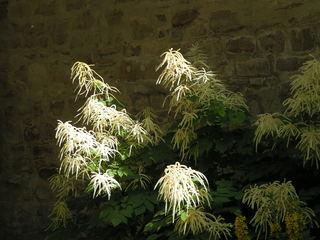 Astilbe - Zierpflanze, Gartenpflanze, Staude, Spiere, Steinbrech, Prachtspiere