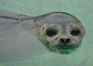 Seehund - Seehund, Heuler, Meerestier, schwimmen, Wasser, aufziehen, Waise, Jungtier, Schreibanlass