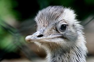 Neugier - Emu, Zoo, Kopf, Tier, Schreibanlass, Vogel