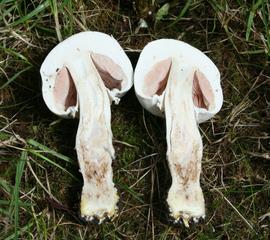Wiesenchampignon #2 - Pflanzenaufbau, Biologie, Pilze, Wiesenegerling, Feldegerling, Speisepilz