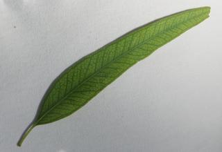 Eukalyptus_Blatt - immergrün, ätherische Öle, Laubbaum, schnellwachsend, Heilpflanze