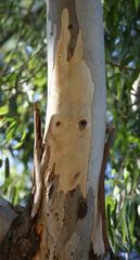 Eukalyptusbaum_Rinde - immergrün, ätherische Öle, Laubbaum, schnellwachsend, Eukalyptus, Heilpflanze, Rinde