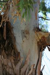 Eukalyptusbaum_Rinde_Blätter - immergrün, ätherische Öle, Laubbaum, Rinde, schnellwachsend, Heilpflanze, Stamm