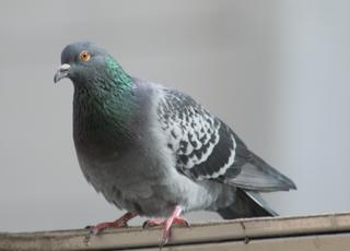Taube - Taube, Stadttaube, Straßentaube, Taubenvögel