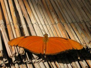 Julia Falter - Schmetterling, orange, Dryadula phaetusa, Tropen, Mittelamerika, tropisch, Schilf, symmetrisch, Symmetrie