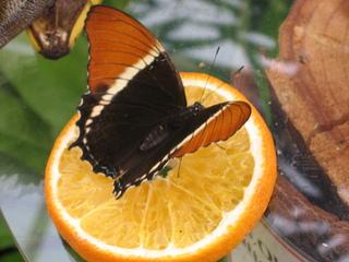 Schmetterling  - Schmetterling, orange, schwarz, Siproeta epaphus, Schokoladenfalter, Tropen, Mittelamerika, tropisch, symmetrisch, Symmetrie