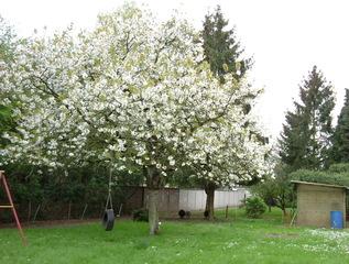 Kirschbaum - Garten, Kirschbaum, Natur, Baum