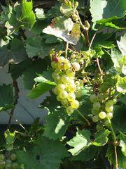 Wein - Wein, Weintraube, Rebstock, Weinstock, Traube, Rebe, Tafeltraube, Weintrauben