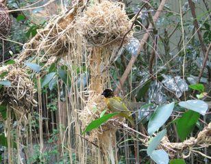 Webervogel - Vogel, Webervogel, Männchen, bunt, gelb, Gefieder, Nest, Nestbau, Kugelnest, nisten, weben