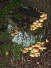 Pilze an einem Baumstumpf - Baumstumpf, Moos, Pilz, Wald, Ökologie, Destruent, Zersetzer