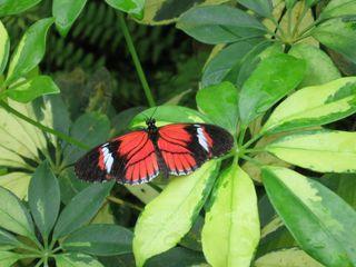 Passionsblumenfalter - Schmetterling, schwarz, rot, grün, Passionsblumenfalter, Postmann, heliconius, Tropen, Mittelamerika, Südamerika, tropisch, symmetrisch, Symmetrie, Kontrast, Komplementärfarben