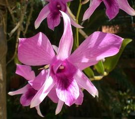 Orchideenblüte - einzeln - Orchidee, Orchideen, Blüte, Blüten, rosa, Stempel, Pflanze, Pflanzen, Blume, Blumen, Orchidaceae