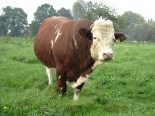 Kuh - Nutztiere, Kuh, Rind, Vieh