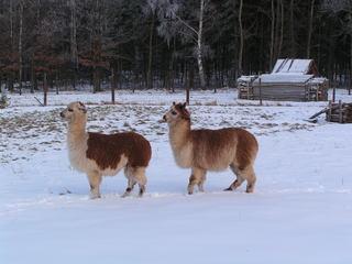 Alpaka - Alpaka, Tier, Zucht, Wolle, Schnee, zwei, Nutztier, Pako, Kamel, Lama