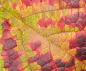 Weinlaub - Weinlaub, Blatt, Ausschnitt, Blattadern, Verfärbung, Herbst, Tau, Struktur, Nahaufnahme, Laubfärbung, Farbe, Kontrast, Komplementärkontrast, Farbstoffe, Pflanzenfarbstoffe
