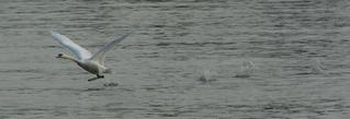 Schwan#1 - zum Flug startend - schwimmen, Schwan, Wasser, Schwäne, Wasservogel, Höckerschwan, glitzern, Schnabel, weiß, Wasser, fliegen