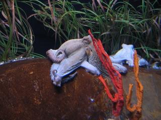 Tintenfisch (Krake) - Biologie, Tiere, Weichtiere, Kopffüßer, Saugnapf, Oktopus, Tintenfisch