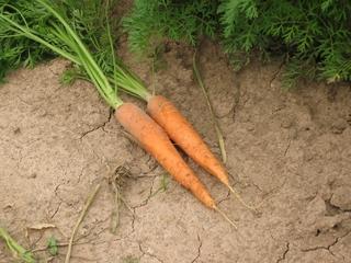zwei Karotten liegen mit Grün auf der Erde - Karotte, Karotten, Möhre, Möhren, Mohrrübe, Gelbe Rübe, Ruebli, Gemüse