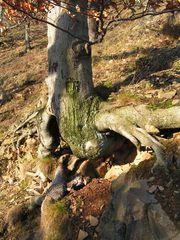 Baum am felsigen Abhang - Baum, Wurzel, felsig, kahl, vermoost, Höhle, Baumwurzel, steinig, felsig