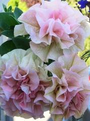Geranienblüte, gefüllt - Geranie, Pelargonie, Storchschnabelgewächs, rosa