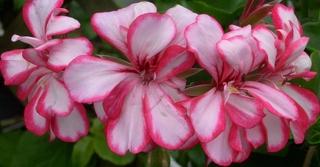 Geranienblüte, rot-weiß - Geranie, Pelargonie, Familie der Storchschnabelgewächse
