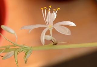 Blüte der Grünlilie - Blüte, Knospe, Staubblätter, Blütenblätter