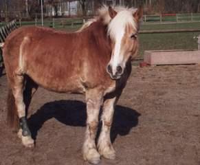 Braunes Pferd  - Pferd, Huftier, Unpaarhufer, Säugetier, Reittier, Streichelzoo, Landwirtschaft, Nutztier, Bauernhof