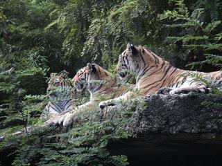 Drei Tiger - Tiger, Raubkatze, Großkatze, Biologie, Zoo, Säugetier, Familie, drei, Menge, Raubtier, Tarnung, Camouflage