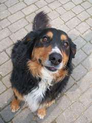 Hund - Mischling, Berner Sennenhund, Schäferhund, Hund, Haustier, Fell, Hundeblick