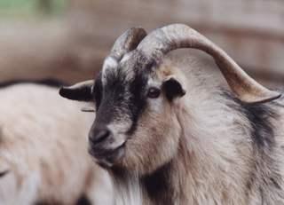 Gewundene Hörner - Ziegen, Streichelzoo, Nutztiere, Bauernhof, Landwirtschaft, Milchvieh, Säugetiere, Hörner, Horn