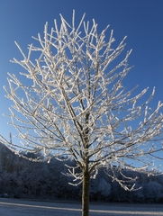 Baum im Raureif - Winter, Raureif, Kristalle, kalt, Reif, Niederschlag, fest, Luftfeuchtigkeit, Wetter, bizarr, Resublimation, Eis, Wetter, Baum, Pflanze, Himmel, blau, Sonne, zart, weiß