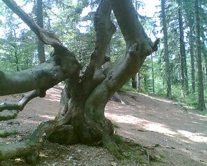Geborstener Baum - Baum, Wald, alt, krumm, verwachsen, Wurzel, Stämme, Stamm, schief, knorrig, verzweigt, Rinde, gespalten