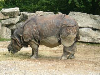 Nashorn - Nashorn, Tier, Zoo, Panzer