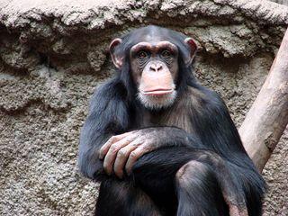 Schimpanse - Schimpanse, Primat, Menschenaffe, Affe, Gesicht, Fell, Arme, Finger, Hände