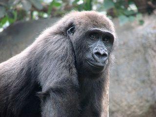 Gorilla 1 - Gorilla, Menschenaffe, Primat, Affe, Pflanzenfresser, Gesicht, lächeln, Fell, Zoo, Blick
