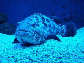 Zackenbarsch - Zackenbarsch, Fisch, Sägebarsch, Barschartige, blau, Flosse, Maul, schwimmen, kalte Farben, Tarnung, Stachelflosser
