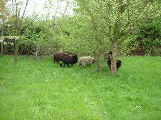 Schafe  - Schaf, Schafe, Garten, Rasen
