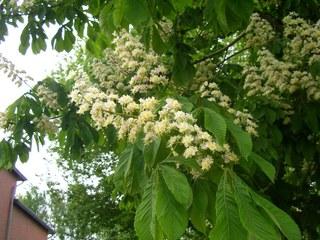 Kastanienblüte - Kastanie, Blüte, Laubbaum, Frühling
