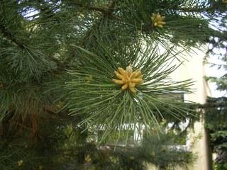 Kiefer mit Blüte - Kiefer, Nadelbaum, Blüte, Frühling
