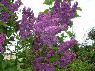 Bühender Flieder - Flieder, Blüte, violett