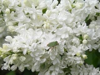 Fliederblüten mit Blattwanze - Flieder, Blüte, weiß, Blattwanze