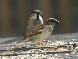 Sperling - Sperling, Haussperling, Spatz, Singvogel, Vogel, fliegen, picken, singen, frech, hüpfen, Schnabel, Auge, Federn