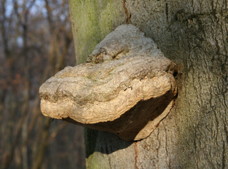 Baumpilz #1 - Pilz, Baumpilz, Parasit, fomes fomentarius, Schwächeparasit, Totholz, hufförmig, Fruchtkörper, Zunder
