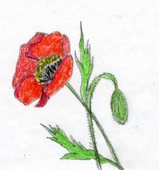 Mohnblume - Blume, Blüte, Knospe, Mohnblume, Klatschmohn, Anlaut B, Illustration