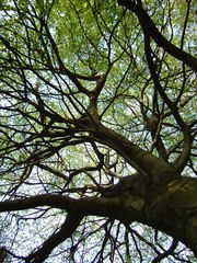 Baumkrone - Baum, Baumkrone, Äste, Untersicht, Meditation