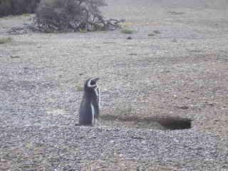 Pinguin  - Pinguin, Punta Tombo, Peninsula Valdes, Argentinien, Lateinamerika