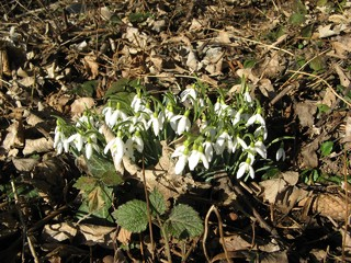 Schneeglöckchen - Schneeglöckchen, Frühblüher, Frühling, Amaryllisgewächs