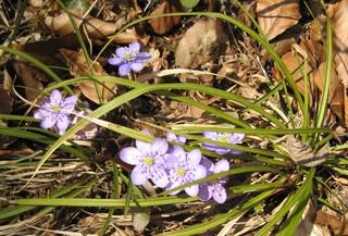 Leberblümchen - Leberblümchen, Frühblüher, Hahnenfußgewächs, Laub