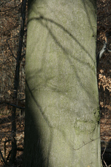Stamm einer Buche - Laubbaum, Buche, Stamm, Rinde, Rindenart, glatt, Buchengewächs, Möbelbau, Brennholz, Holz, Baumstamm, Baum