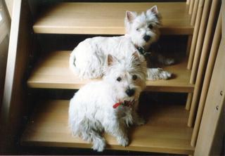 Westhighland White Terrier - Haustiere, Hunderassen, Hund, Zwillinge, Westhighland White Terrier